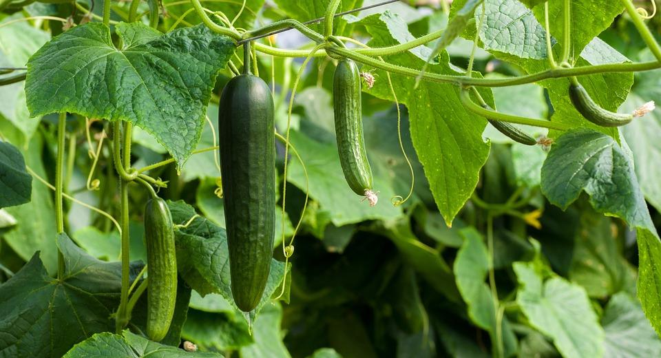 Cucumbers, Green, Cucumber, Food, Vegetables, Healthy