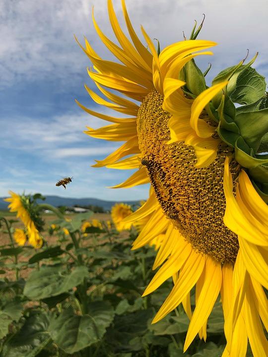 Sunflower, Heart, Flower, Yellow, Bee, In Flight