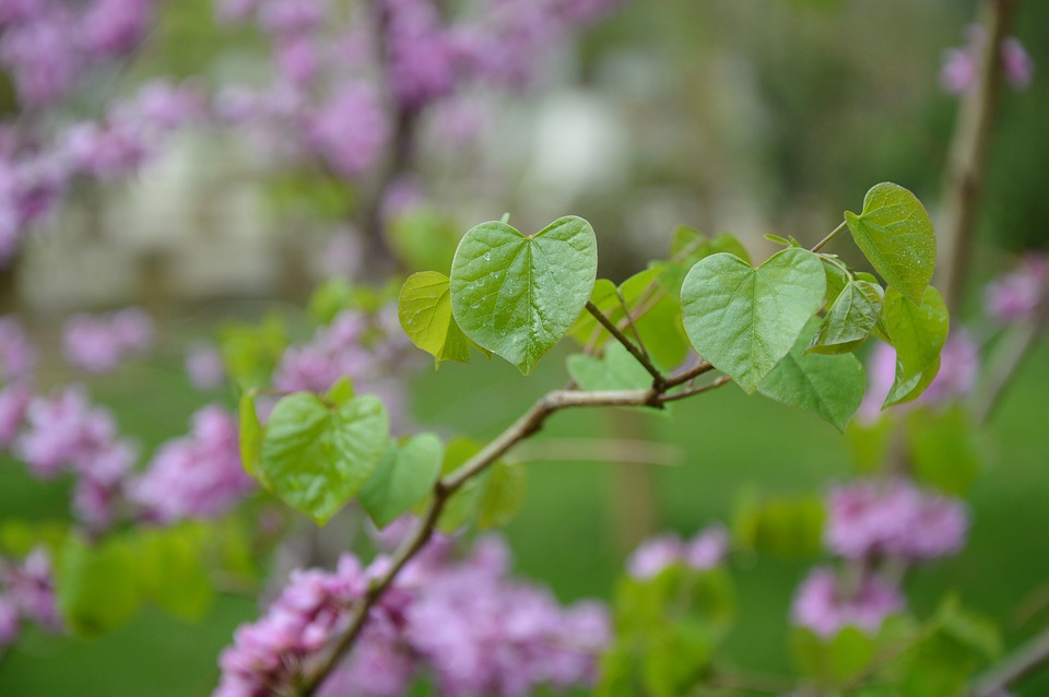 Chinese Redbuds, Judas Tree, Flowers, Purple, Heart