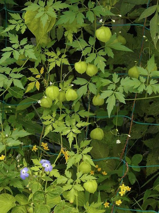 Heart Pea, Sapindaceae, Sapindus Eyes, Balloons
