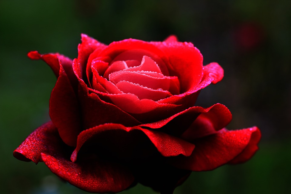 free photo heart romantic flower love red rose petals max pixel
