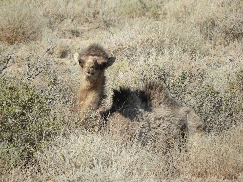 Camel, Steppe, Desert, Kazakhstan, Summer, Heat, Molt