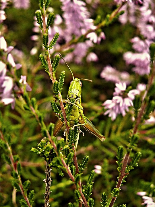 Heather, Grasshopper, Green, Insect