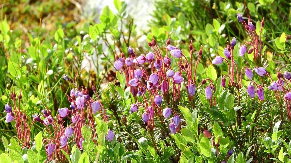 Phyllodoce Caerulea, Ericaceae, Heather, Sweden, Plant