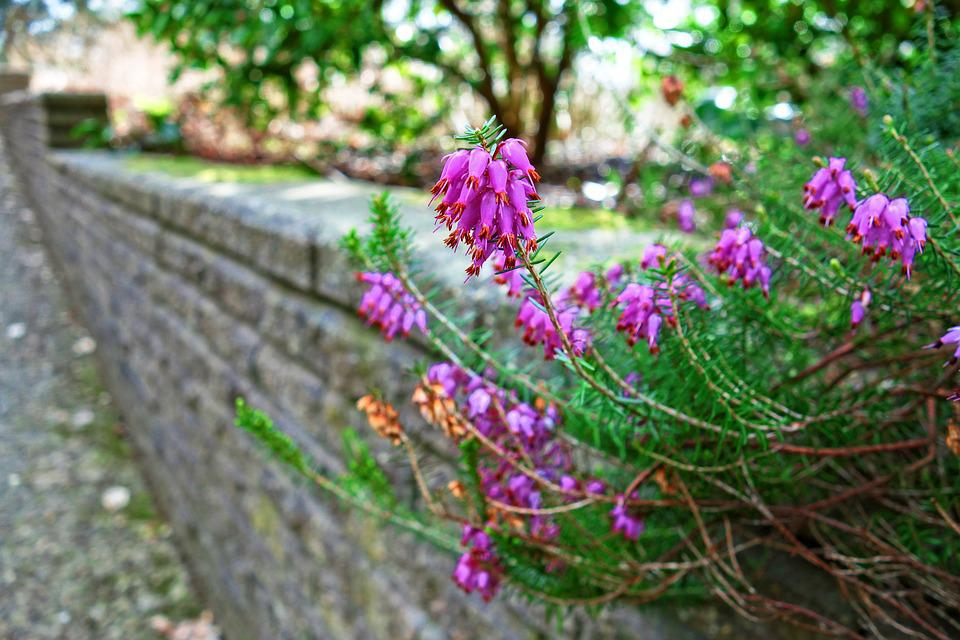 Erica, Flower, Plant, Blooming, Heather, Pink Erica