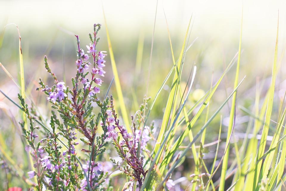 Heather, Flower, Plant, Nature, Close, Flowers