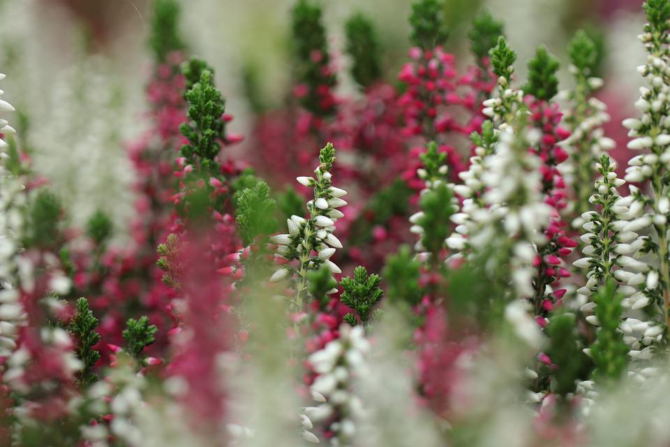 Heather Plants, Calluna, Heathers, Flowers