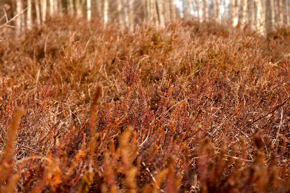 Rote Heide, Red, Red Heather, Heathland, Nature