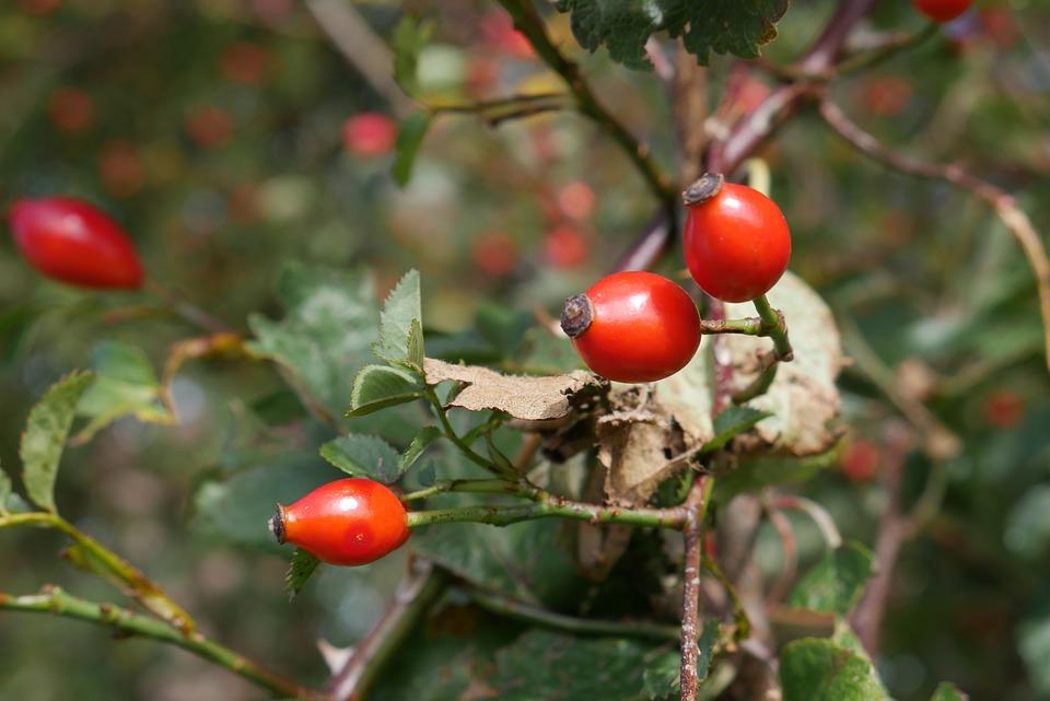 Hedge, Rose Hip, Red, Nature, Bush