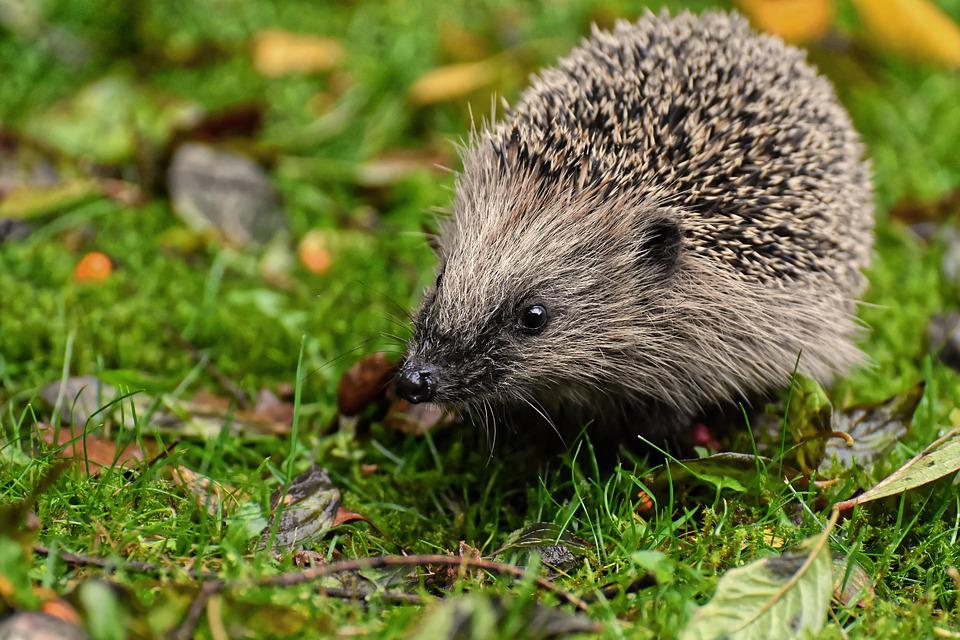 Hedgehog, Animal, Spur, Nature, Mammal, Hannah, Prickly