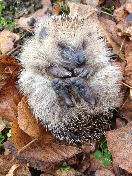 Hedgehog, Animal, Garden