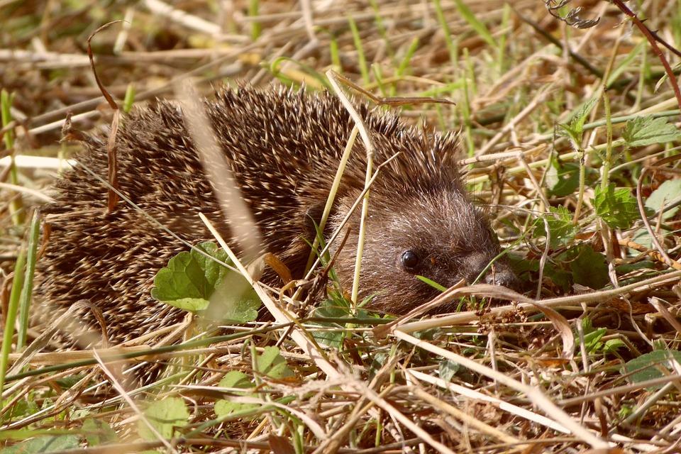 Hedgehog, Animal, Spice, Cute, Thorny, Garden, Autumn