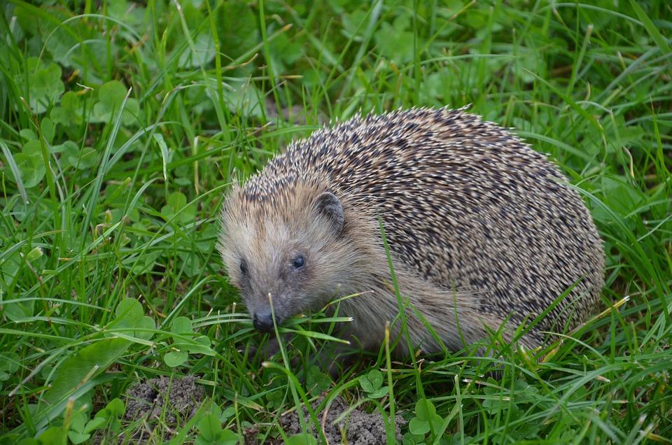Hedgehog, Autumn, Hannah