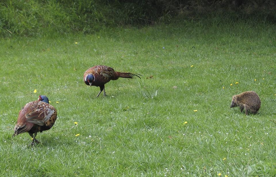 Animals, Pheasants, Hedgehog, Pheasant, Plumage, Wild