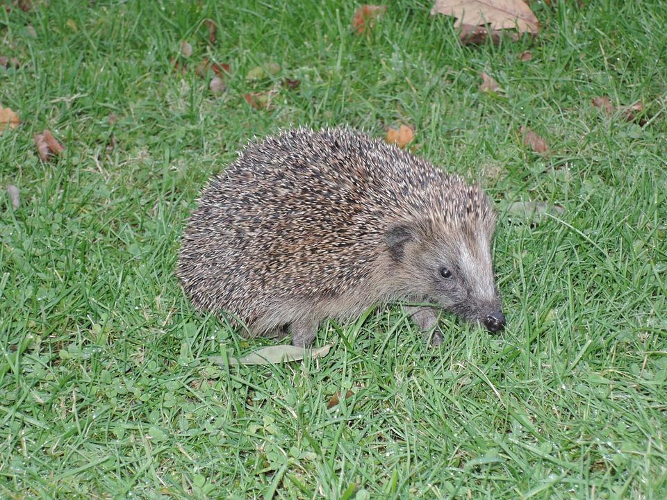Hedgehog, Grass, Prickly, Nature, Animal, Rush, Hannah