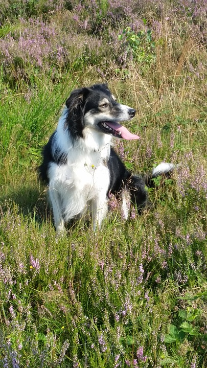Border Collie, Dog, Hei