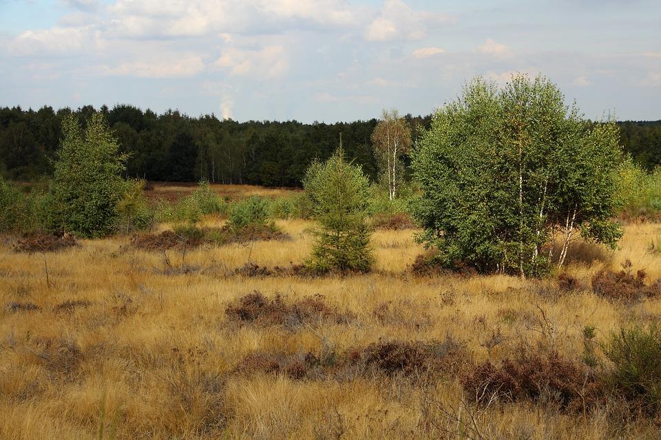 Heide, Heather, Nature, Heathland, Retama, Birch