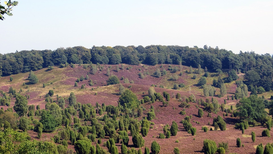 Lüneburg Heath, Heide, Heather Blossoms, Plant
