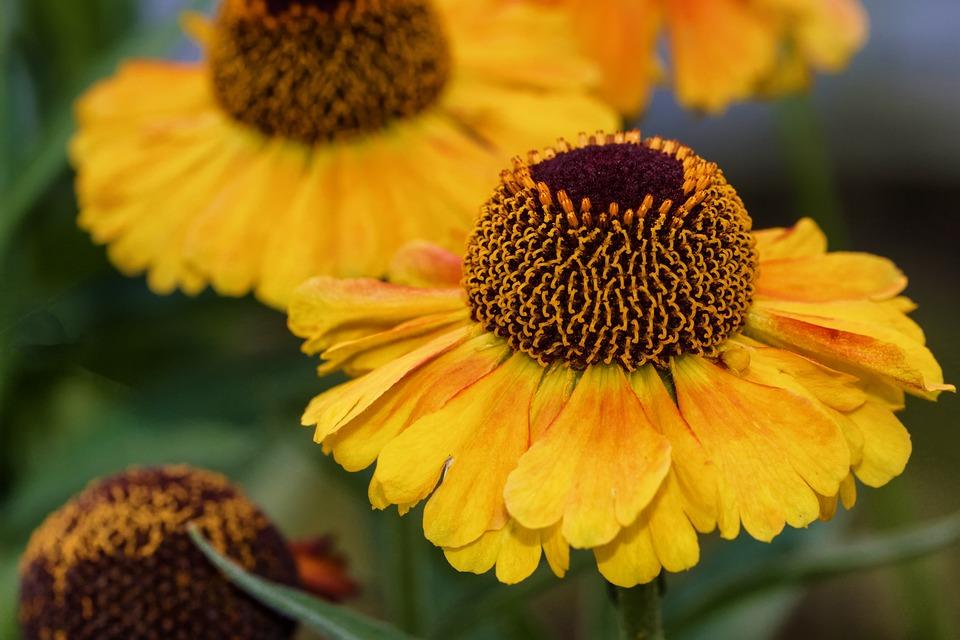 Free photo helenium composites sun brews flower tubular blooms max sun brews helenium composites tubular blooms flower mightylinksfo
