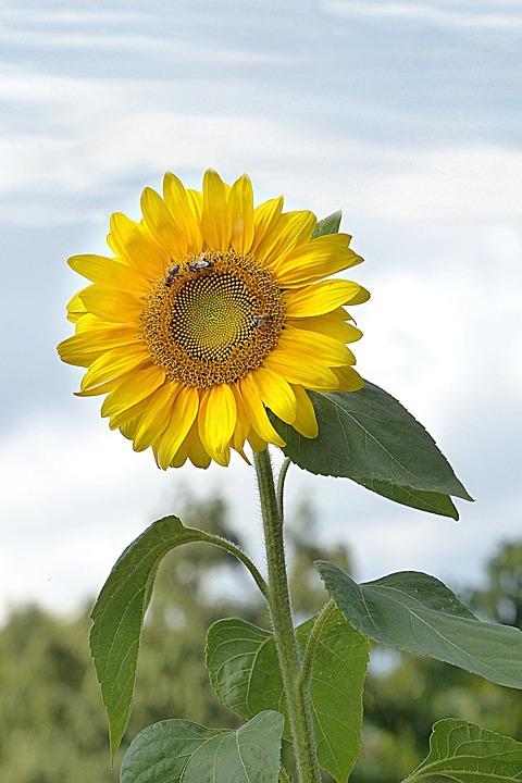 Flower, Sun Flower, Helianthus Annuus, Yellow