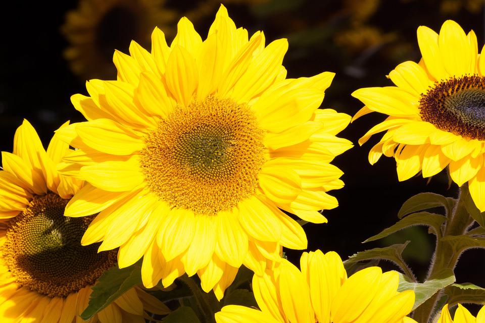 Sunflower, Helianthus Annuus, Flowers, Nature, Plant