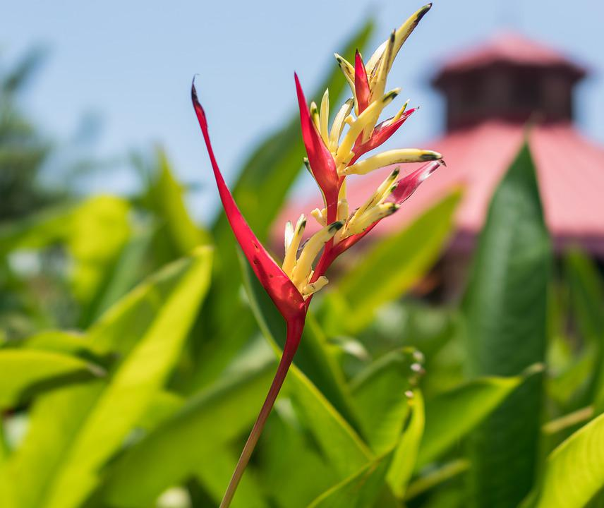 Heliconia Psittacorum, St, Vincent Red, Orange