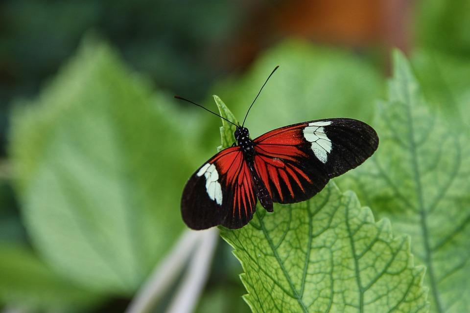 Postman Butterfly, Heliconius Melpomene, Butterflies