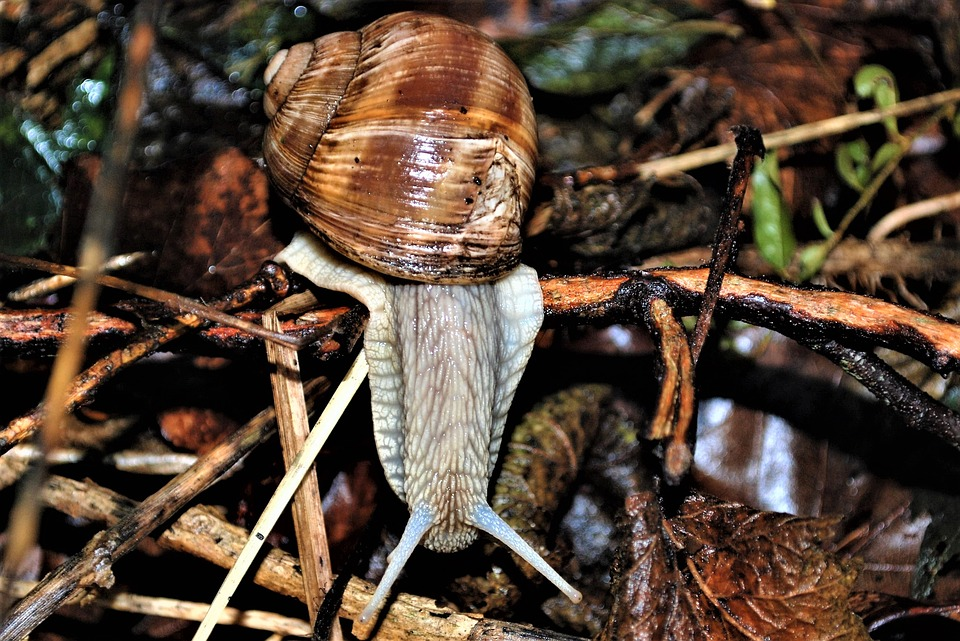 Helix Pomatia, Snail, Probe, Crawl, Slowly, Close Up