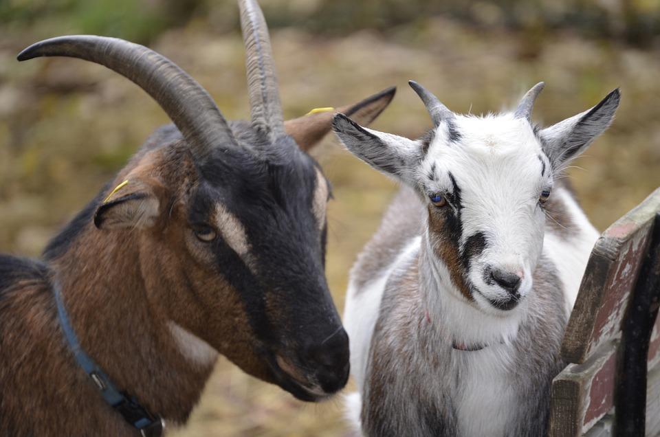 Goat, White, Bock, Hell, Billy Goat, Nature, Horns