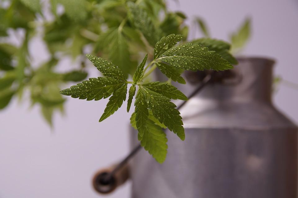 Hemp, Seedling, Hemp Leaf, Hemp Plant