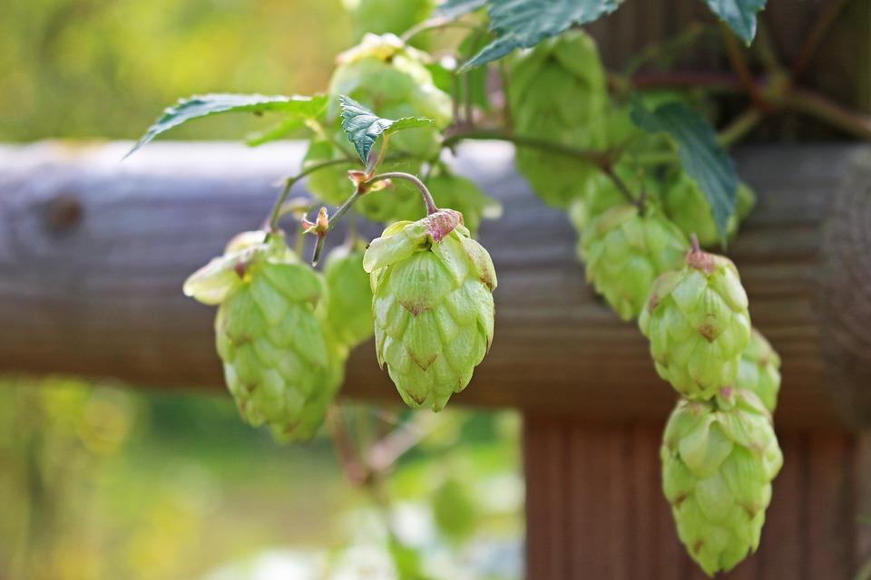 Hops, Hemp Plant, Medicinal Plant, Plant, Beer Brewing
