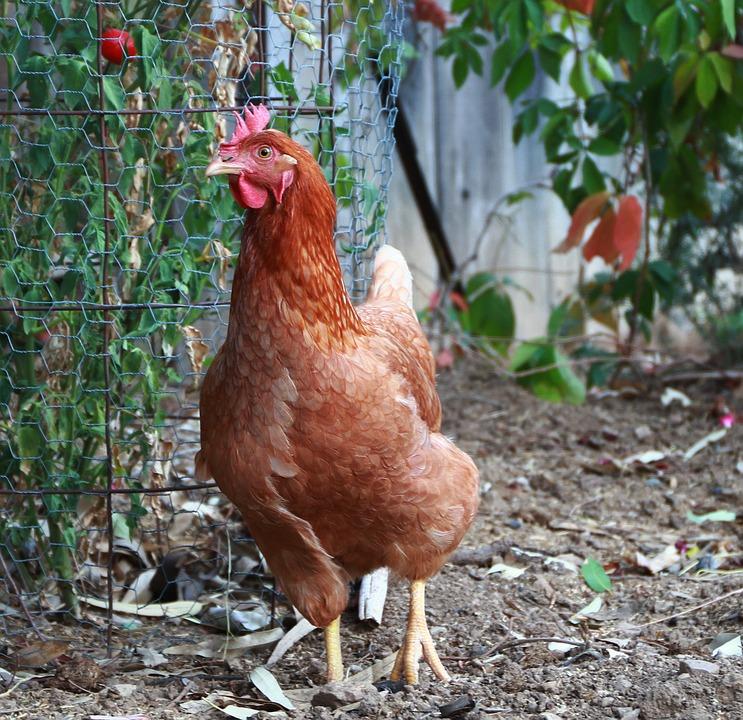 Chicken, Bird, Fowl, Brown, Hen, Animal, Farm, Poultry