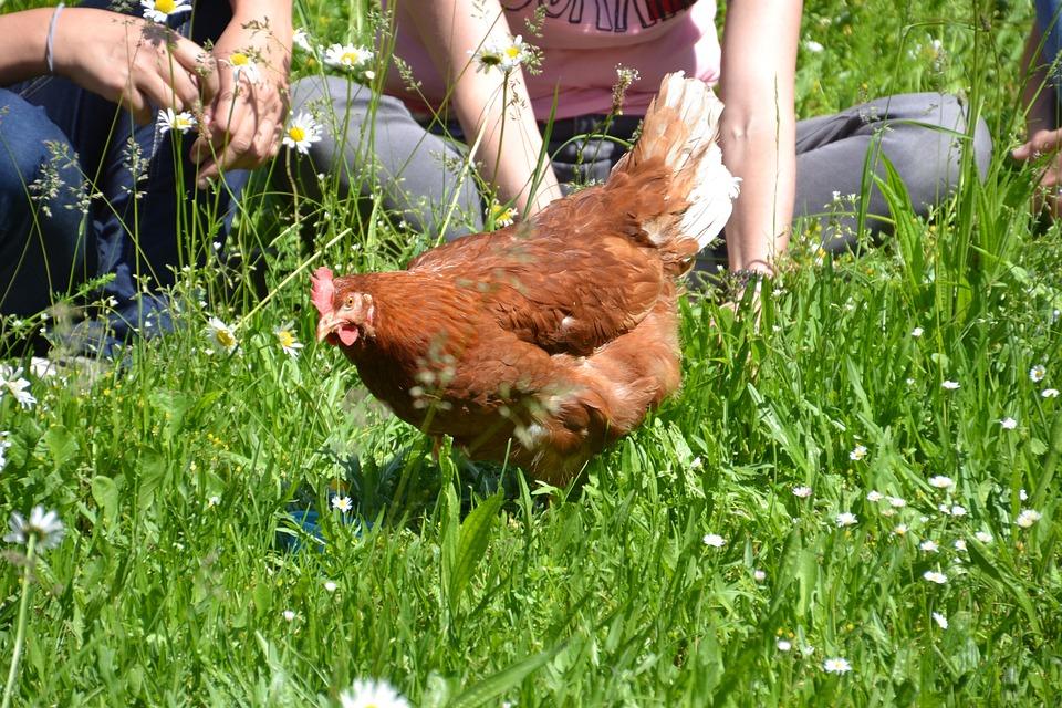 Chicken, Hen, Laying Hens, Human, Responsibly, Handling