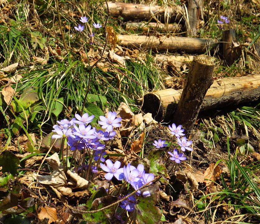 Hepatica, Flower, Forest, Spring, Nature, Leaves