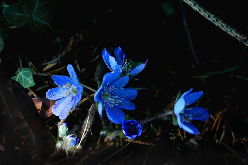 Nature, Plant, Flower, Hepatica