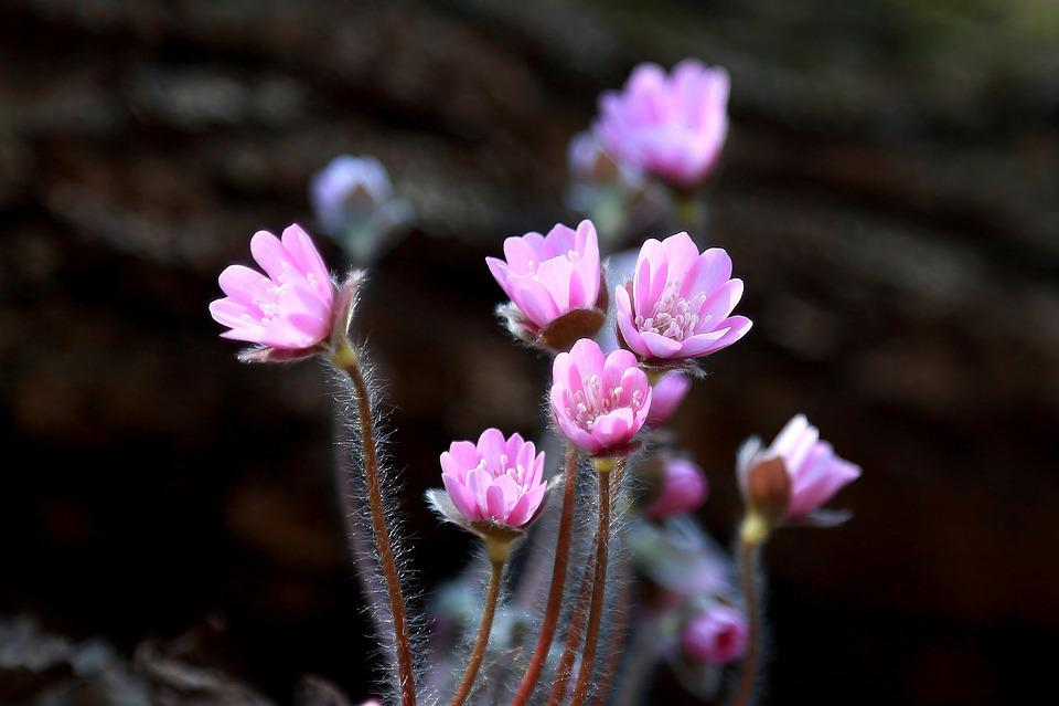 Flowers, Nature, Plants, Petal, Flowering, Hepatica