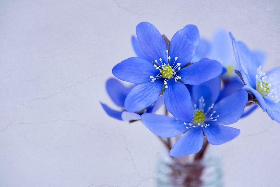 Flowers, Petals, Hepatica, Blue, Blue Flower