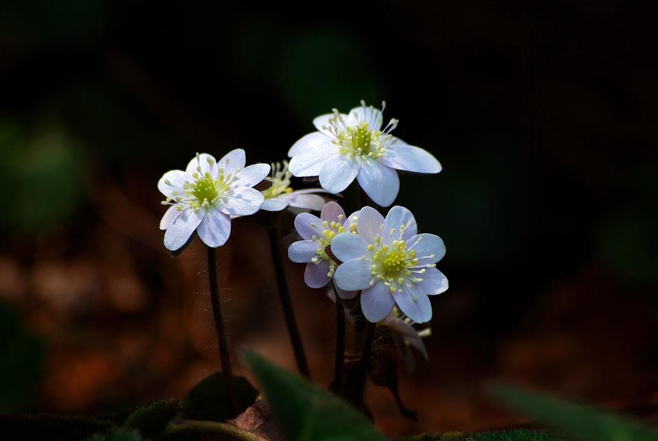 Nature, Flowers, Plants, Outdoors, Petal, Hepatica