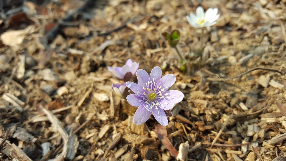 Hepatica, Purple, Flowers, Spring