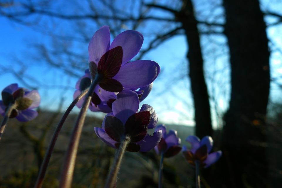 Hepatica, Forest, Flower, Nature