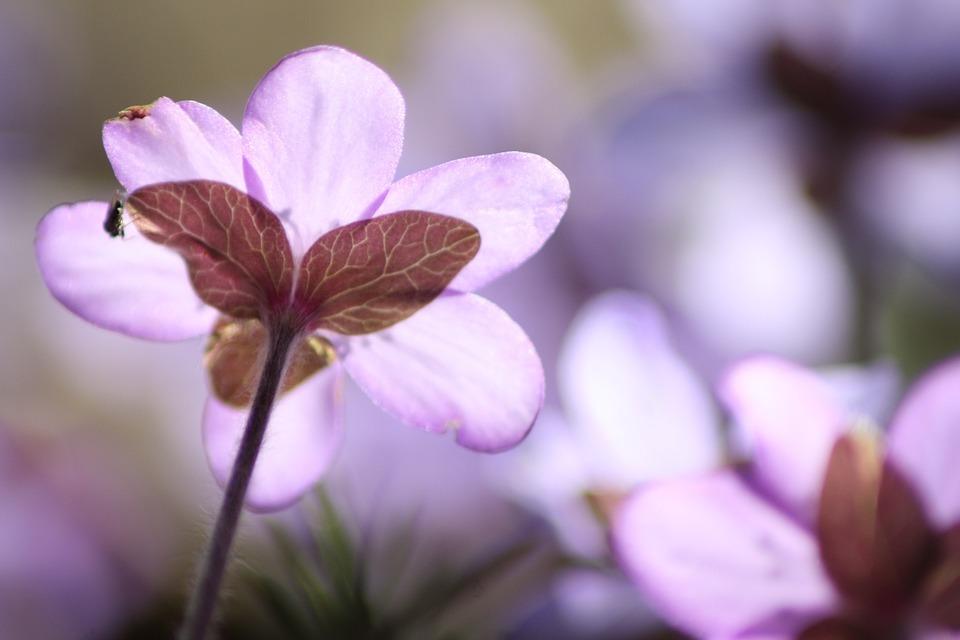Hepatica, Plant, Flower, Spring, Spring Plant