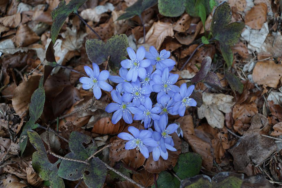 Hepatica, Forest, Wild Flower, Blue, Forest Floor