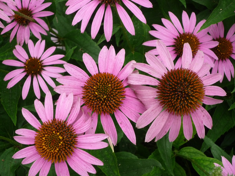 Echinacea, Herb, Medicinal, Tincture, Herbal, Medicine