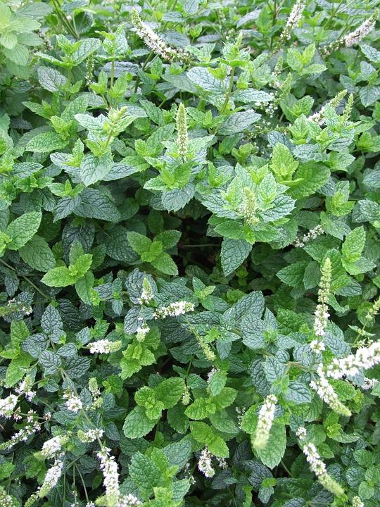 Mint, Herb, Mojito, Garden