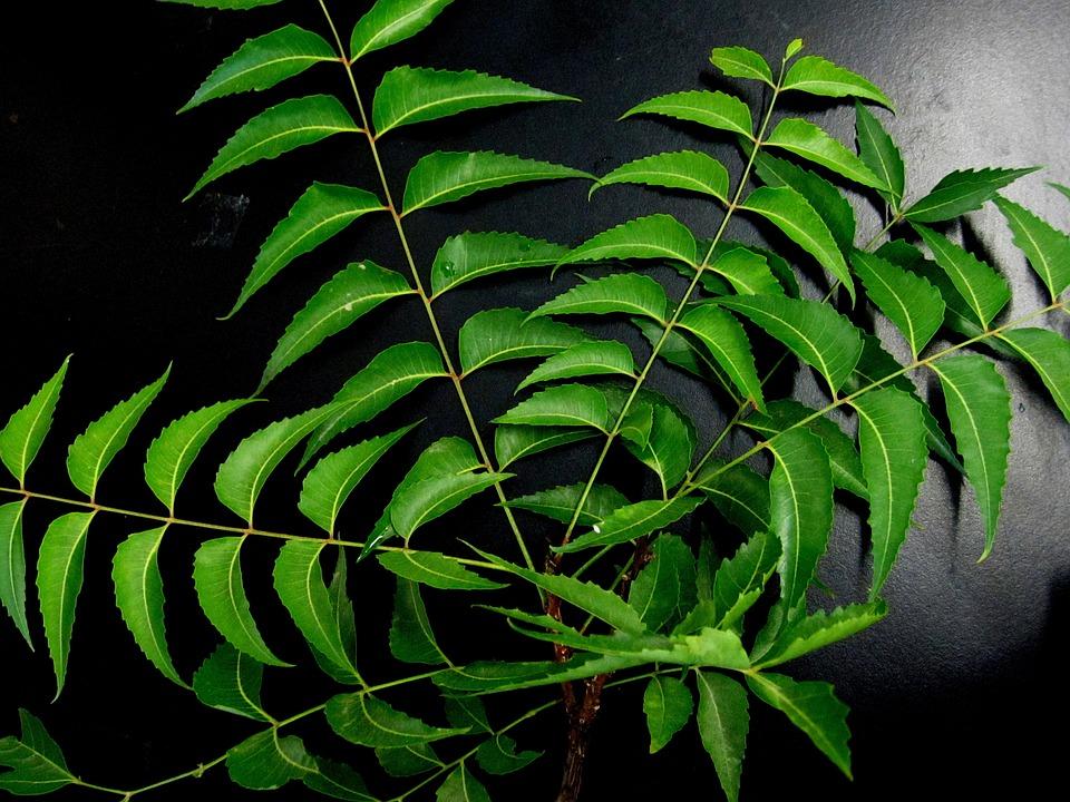 Neem Leaves, Neem, Herb