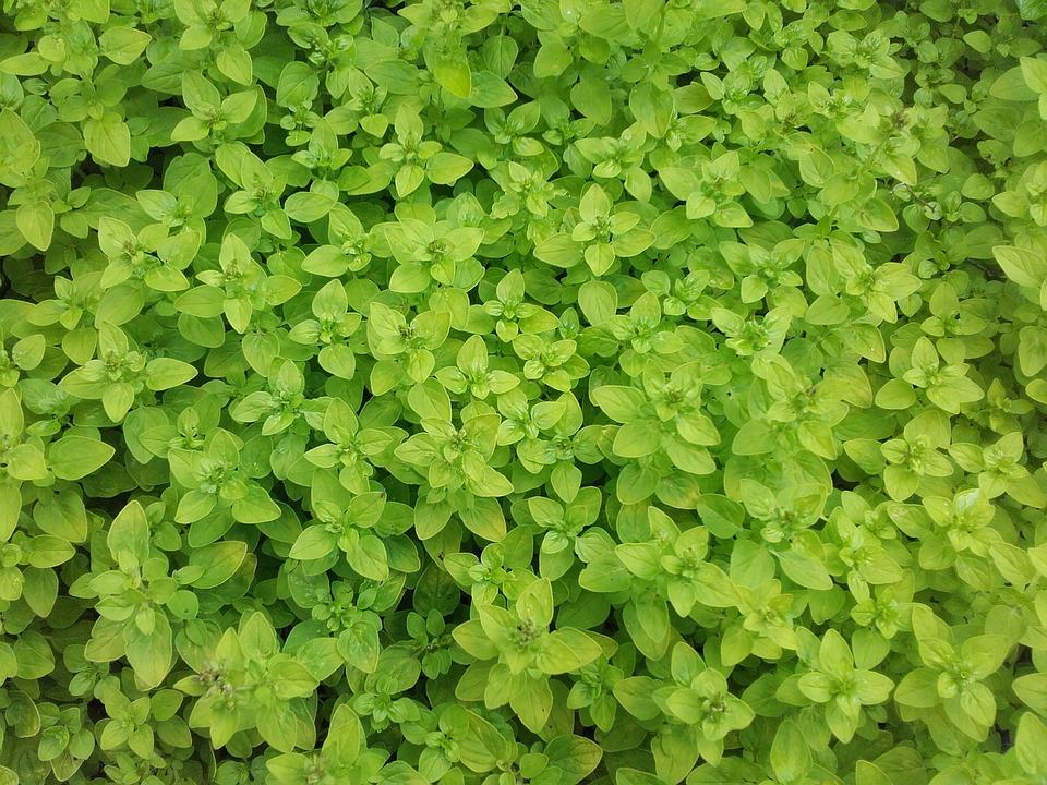 Spice, Marjoram, Herb