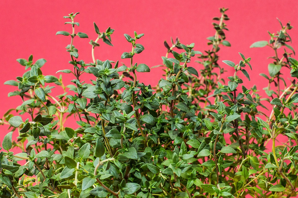 Thyme, Herbs, Culinary Herbs, Kitchen Herb, Cook, Herb