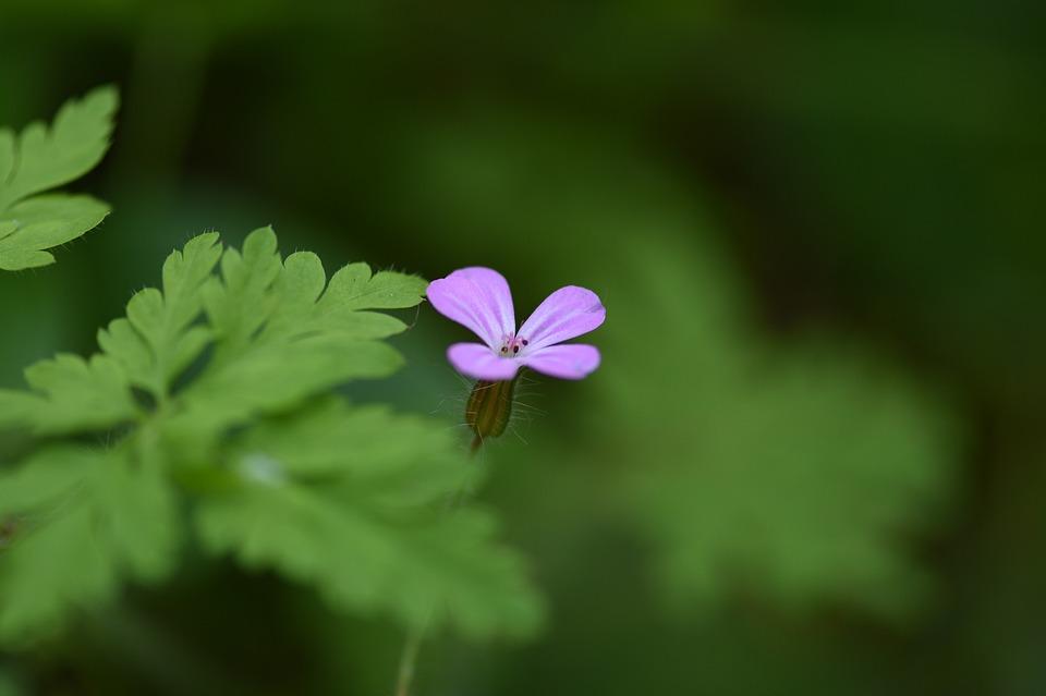 Flower, Small, Herb-robert, Wildflower, Tiny