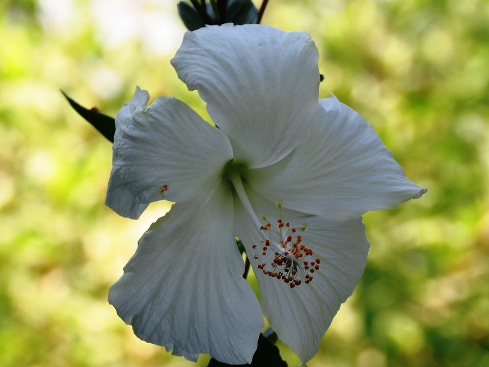 Hibiscus Rosa Sinensis, Flower, White, Herbal