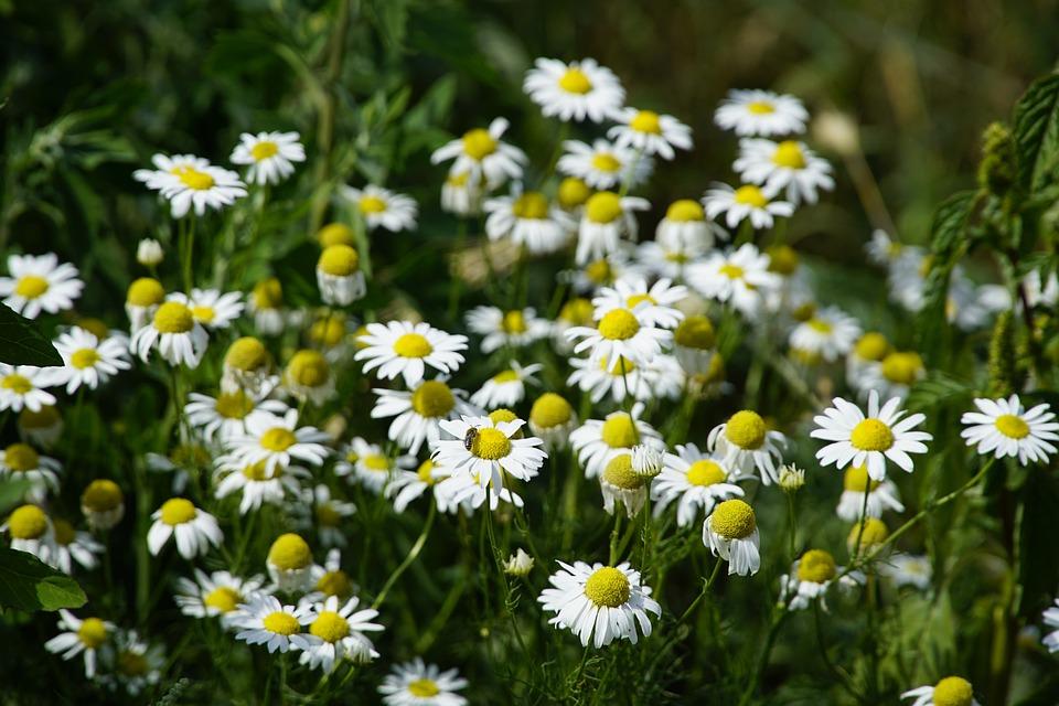 Chamomilla, Flowers, Nature, Wildflowers, Herbal, White